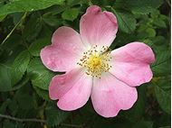 Picture of Eglantine seed