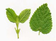 Picture of Lemon balm leaf