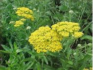 Picture of Yarrow flower