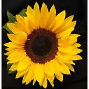 Picture of Helianthus annuus yellow long-legged seed