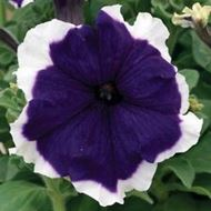Picture of Purpul petunia withh white lips seeds