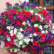 Picture of goldsmith hanging petunia mix seed