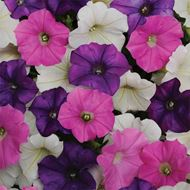 Picture of Iranian aromatic mix petunia