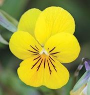 Picture of lemon yellow viola seed