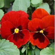 Picture of spotted red viola seed