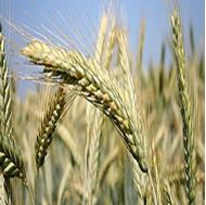 Picture of Triticale seeds
