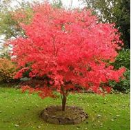 Picture of ornamental acer seed
