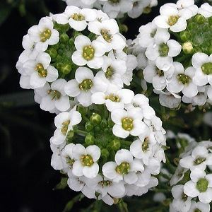 Picture of White alyssum seed