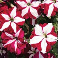 Picture of Petunia Rose Star‬‏ seeds