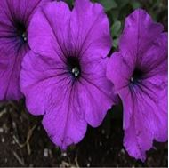 Picture of Violet Petunia seeds