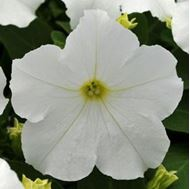 Picture of White petunia Seeds
