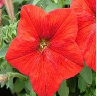 Picture of pale red Iranian petunia