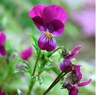 Picture of siklame viola seed