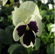 Picture of Black dotted white violet seed