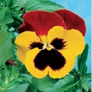 Picture of yellow violet seed