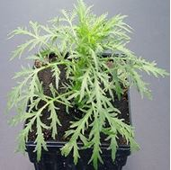 Picture of Wormwood seedlings