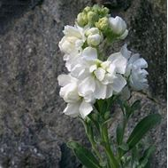 Picture of Hoary stock white seeds