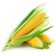 Picture of Maize seeds