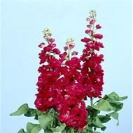 Picture of Hoary stock red seeds