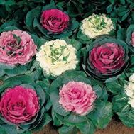 Picture of Ornamental Cabbage Mix Seeds